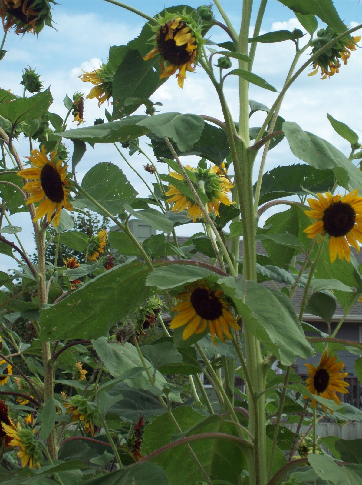 summer sunflowers andrea - photo #44