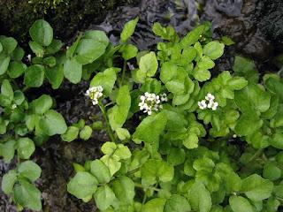 Jenis Tumbuhan yang Bisa Dimakan di Hutan dan Gunung
