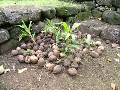Noci di cocco germinate