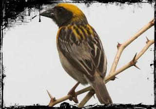 Cara merawat burung manyar