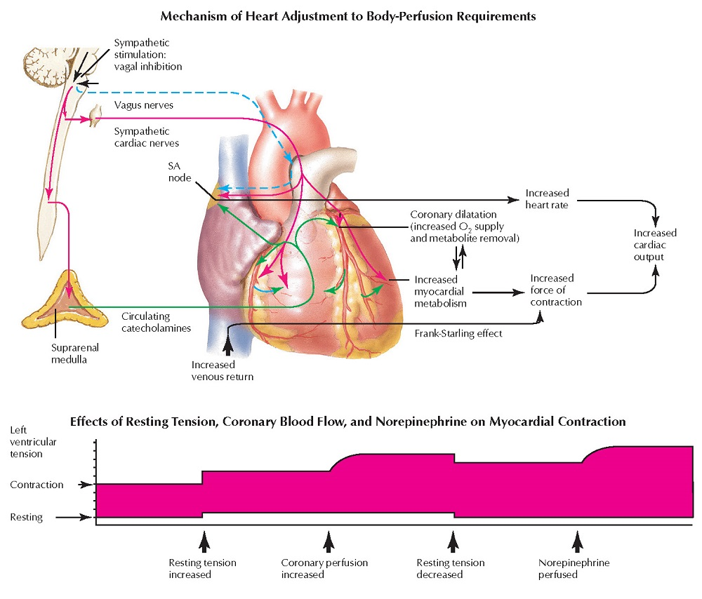 Cardiovascular Function: Definition of Terms and Regulation
