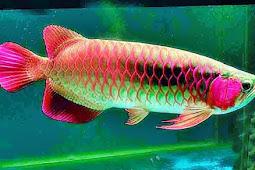 Kisah Ikan Yang dihargai mahal