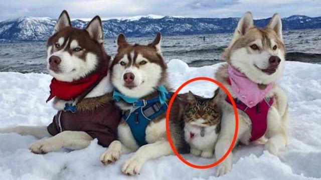 Кошка Рози, которую спасли и вырастили хаски, совершенно уверена в том, что она хаски!!!