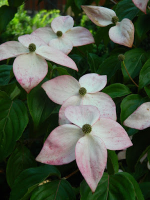 Cornus kousa Satomi Chinese Dogwood blooms by garden muses-not another Toronto gardening blog