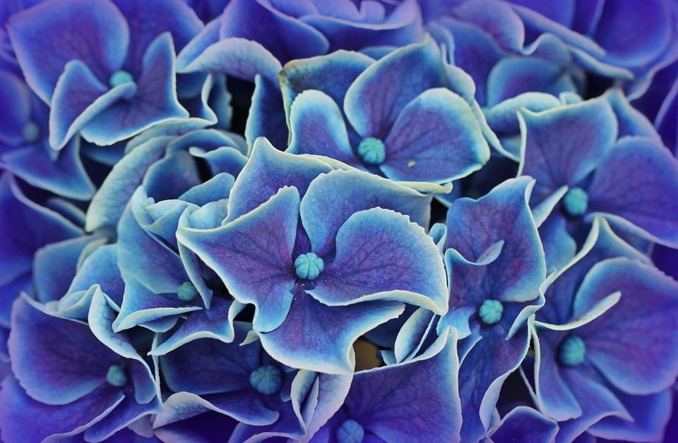 Flores de hortensias azules