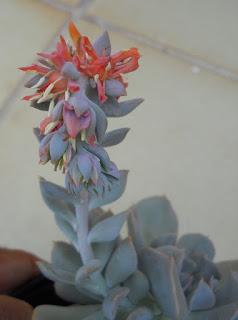 echeveria flor de Tejas