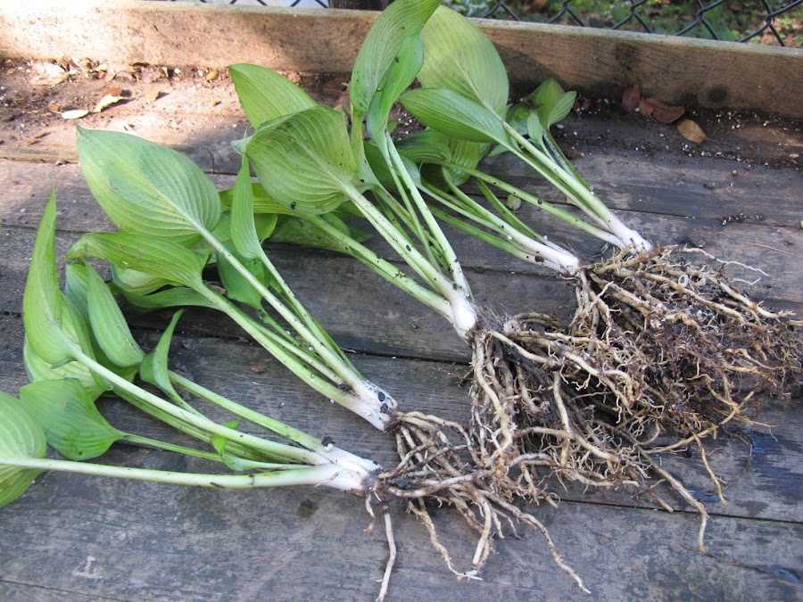 splitting hostas