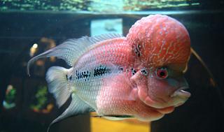 Daftar jenis dan harga terbaru ikan louhan
