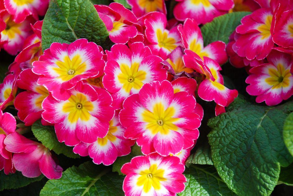 jaglac-jagorčevina-cvijeće-proljeće