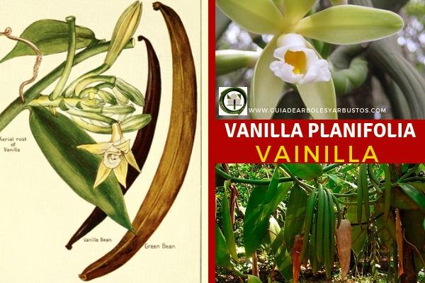 La Vanilla planifolia, es una planta trepadora nativa de América tropical e Indonesia