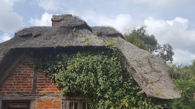 English ivy - Hedera helix growing into the thatched roof of an old cottage