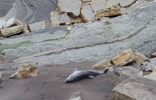 Delfín muerto en Sopelana (Sopela)