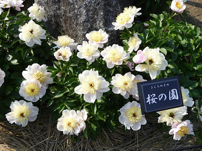 久宝寺緑地のシャクシャク園 桜の園