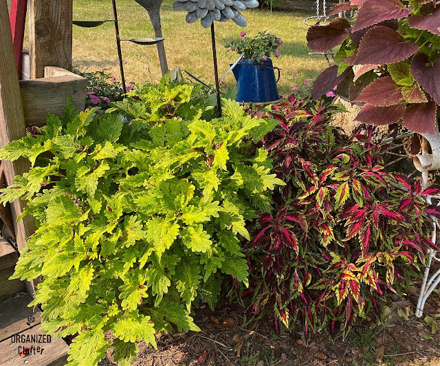 Photo of two chamber pots of coleus in August