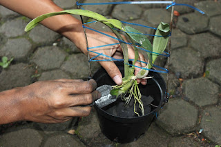 Knowing How to Grow Plants Orchids in Pot A Right and Benefits Orchid