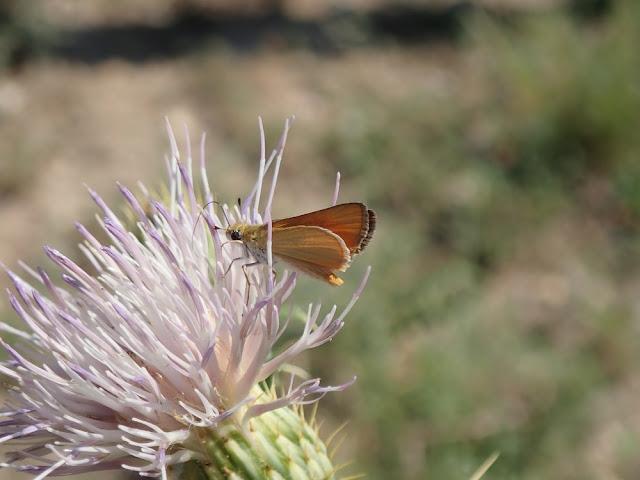 Copaeodes aurantiaca