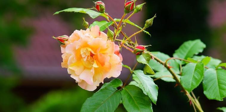 Cara Dan Teknik Menanam Bunga Mawar Dengan Pot