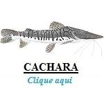 Peixe, Cachara