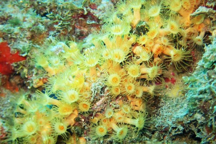 İnce tip salkım anemonu