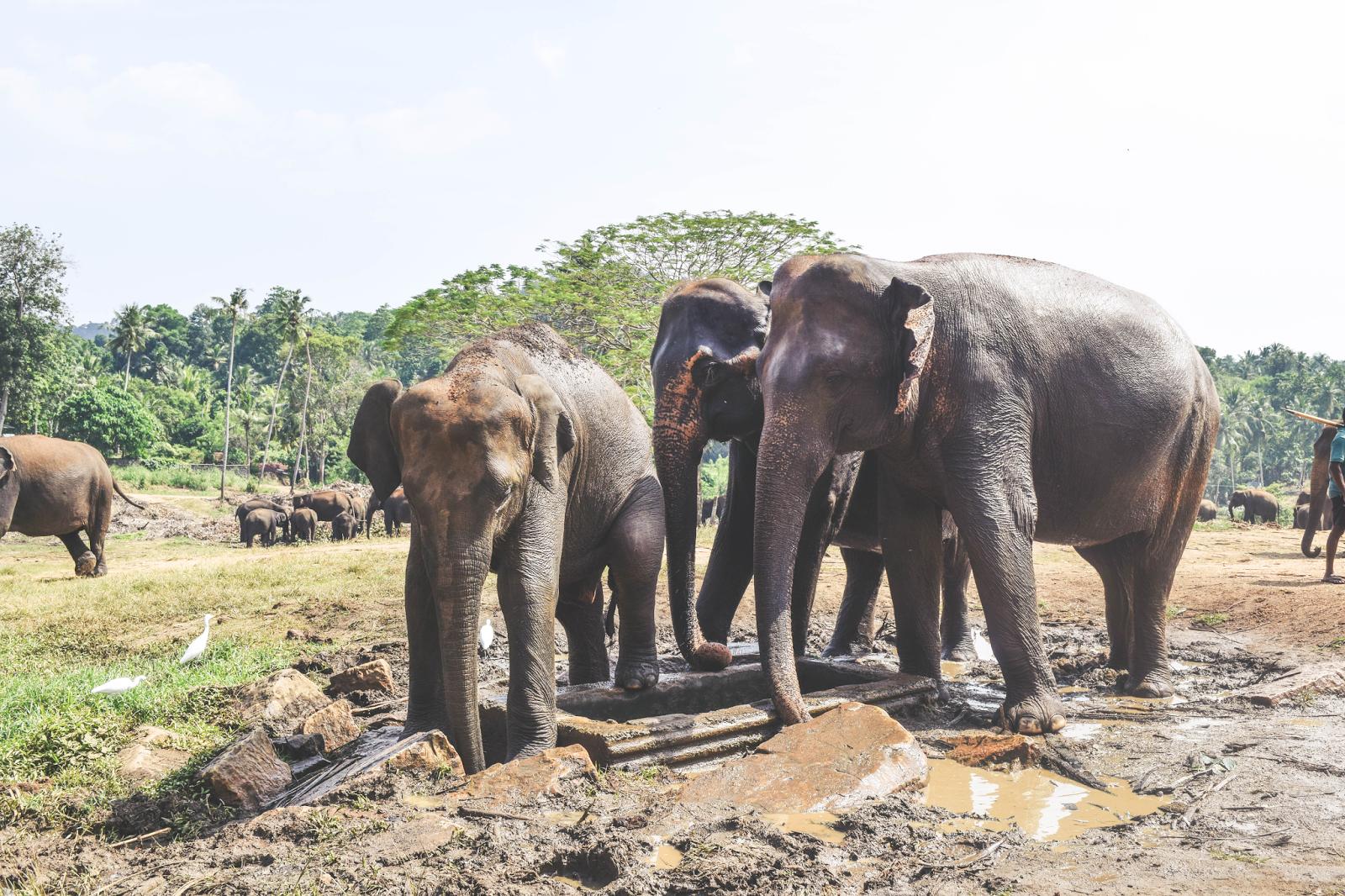 Sri Lanka Pinnawala Elephant Orphanage Elephants