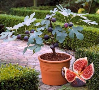 How to cultivate Tin Fruit in Pot