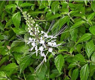 Obat sipilis dari daun kumis kucing