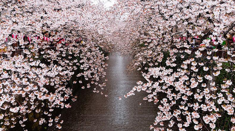 Paisajes De Japon Cerezos En Dibujos