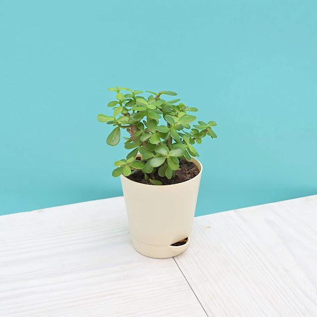 Plant diwali gift