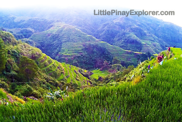 rice terraces, rice plants, banaue, sagada, rice field