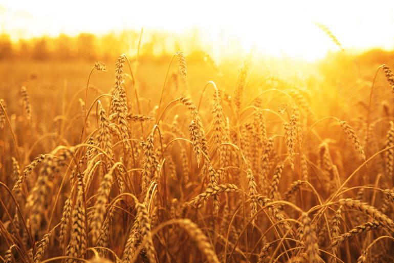 باحثون يتوصلون لرسم خريطة لجينوم نبات القمح بالكامل