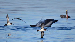 Black-vented Shearwater, Delphinus capensis, Long-beaked Common Dolphin