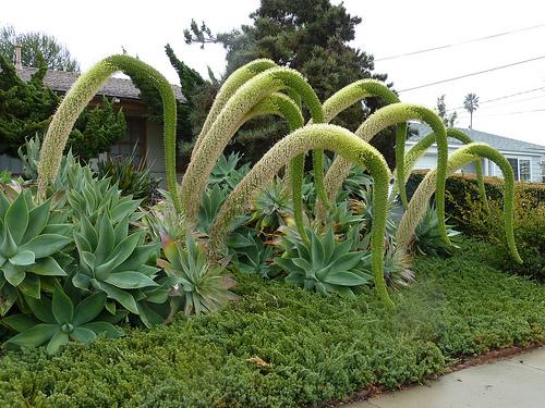 PESCOÇO-DE-CISNE (Agave attenuata) Podendo atingir 1,5 metros de altura, quando envergada, e chegando aos 4 ou 5 metros de altura, quando esticada, a planta apresenta uma inflorescência em forma de uma espiga, composta por diversas pequenas flores.  De tão grande e pesada, ela se curva ao longo do crescimento. E, conforme envelhece, da base para a ponta, a ''espiga'' ganha forma semelhante a das aves pescoçudas.