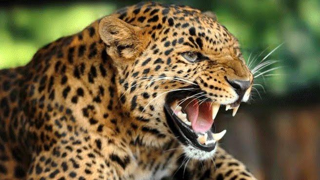 Terrore in India: Monaco buddista sbranato da leopardo mentre pregava.