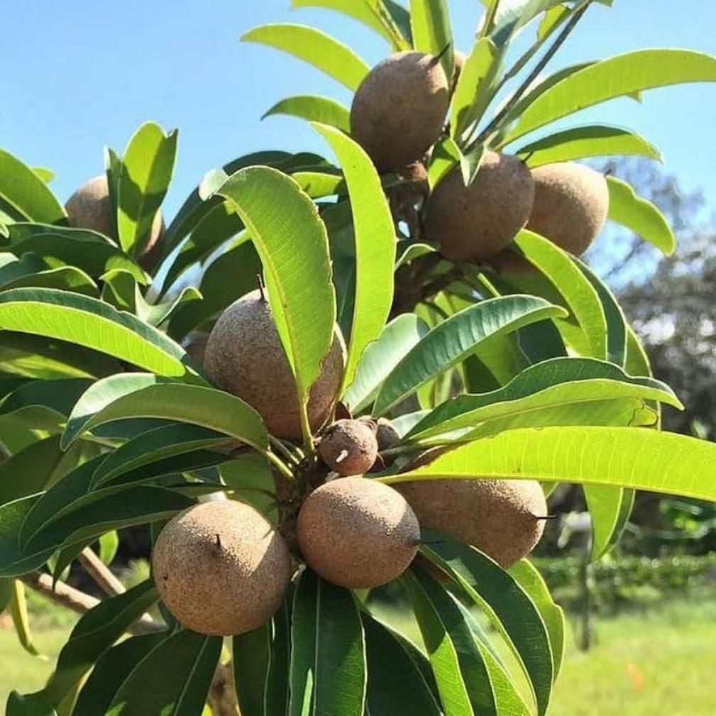bibit tanaman sawo manila Sumatra Barat