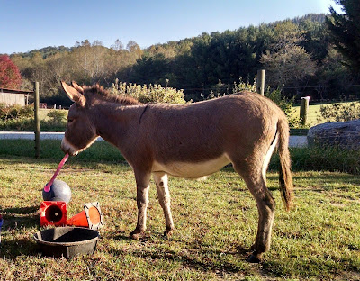 miniature donkey playing with toys