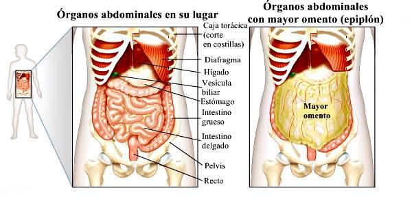 Sistema digestivo humano: estructura, órganos y funciones del sistema digestivo humano