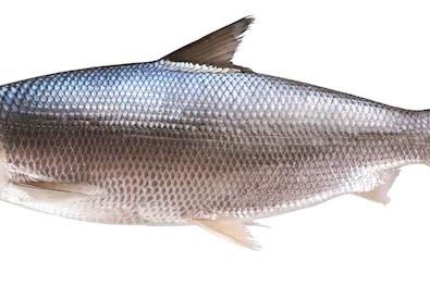 Klasifikasi Ikan Bandeng dan Morfologi Ikan Bandeng (Chanos Chanos)