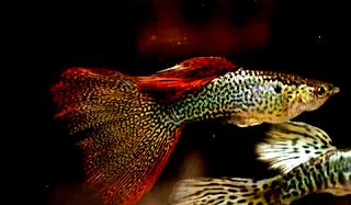Gambar Guppy Redlace Snakeskin