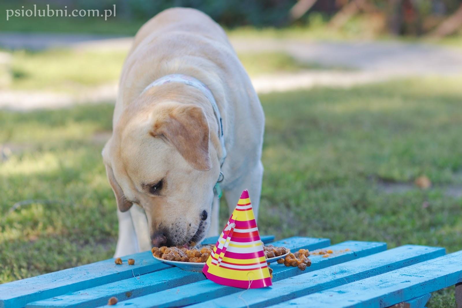 przysmaki dla psa, tort dla psa, ciastka dla psa, urodziny psa, diy, zrób to sam, nagroda dla psa, psiolubni, przekąska dla psa, labrador retriever, biszkoptowy labrador,
