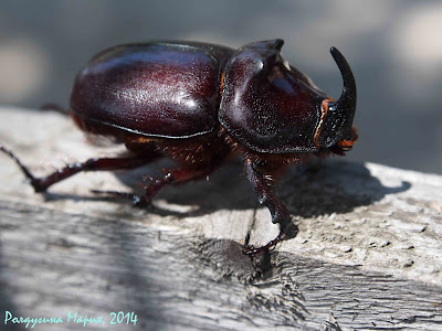 Ейск фото жук носорог