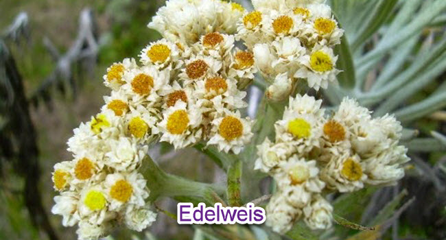 EdelweisIndonesia