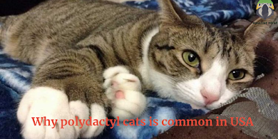 Why Polydactyl Cats Is Common In USA