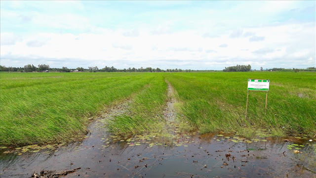 Cây lúa nhanh chóng vươn lóng theo độ ngập sâu của mùa nước lên.
