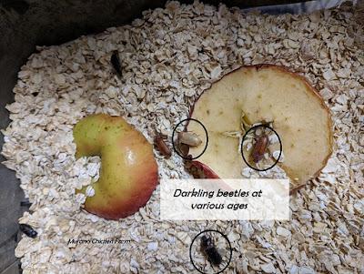 darkling beetles / mealworm beetles