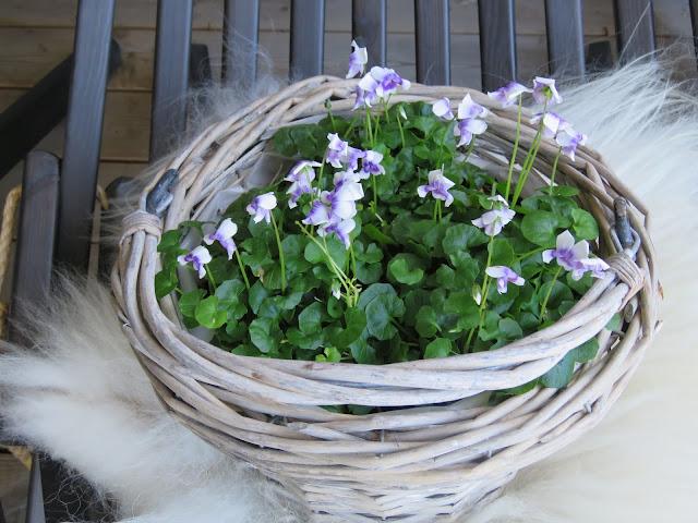 Fiol på saueskinn - viola hederacea - vertinnegave