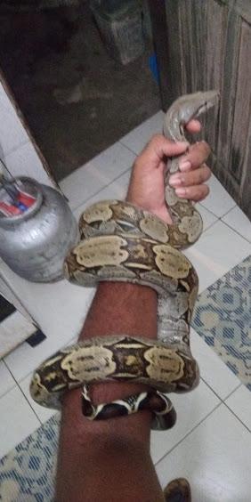 Cobra jiboia é encontrada no quintal de um morador no bairro do João Paulo
