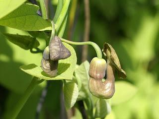 Aristoloche siphon - Aristolochia macrophylla - Aristolochia durior