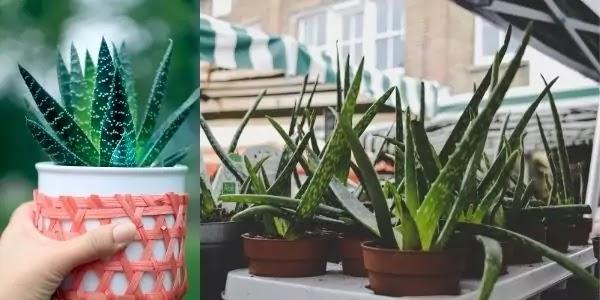 IBS & Artificial Sweeteners | Improve Symptoms of IBS With Aloe Vera