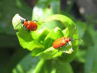 Two red bugs, Palestrina55@Flickr