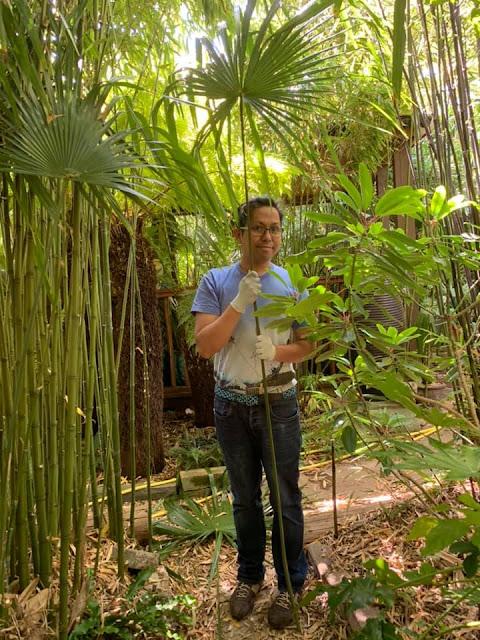 Trachycarpus fortunei with long petiole